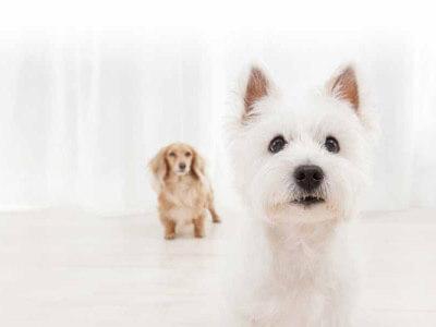 2匹の犬 ダックスフンド